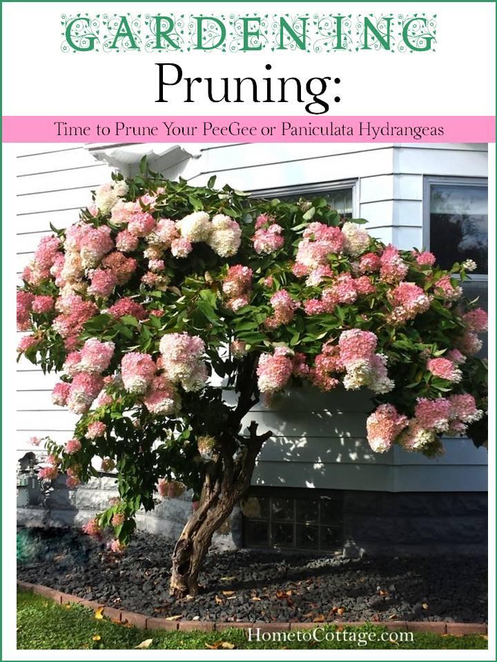 Tips to Prune a PeeGee Hydrangea